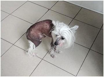 Застарелый компрессионный перелом позвоночника у китайской хохлатой собаки