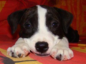 Краниоцервикальная дисплазия у животных