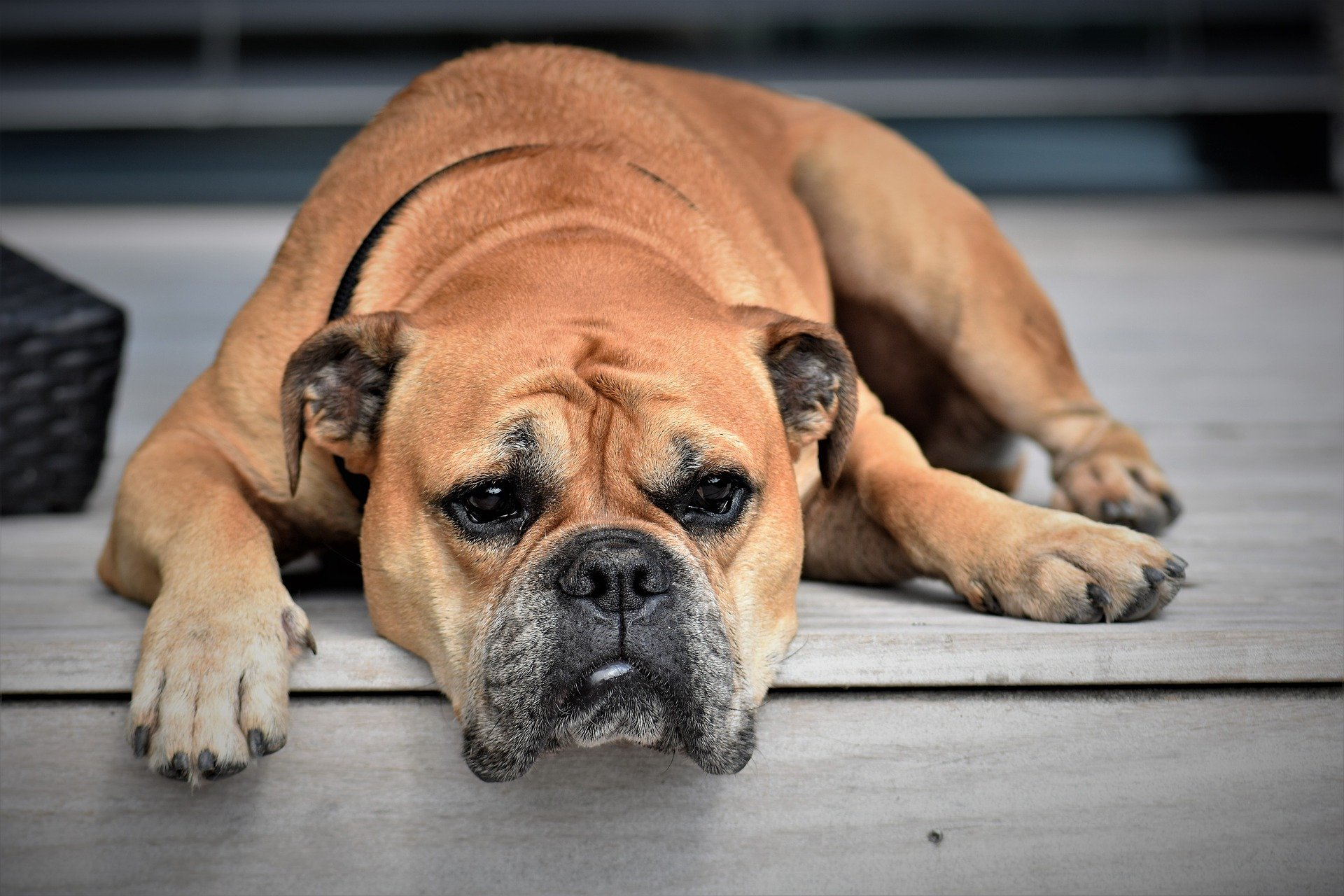 Дегенеративная миелопатия у собак