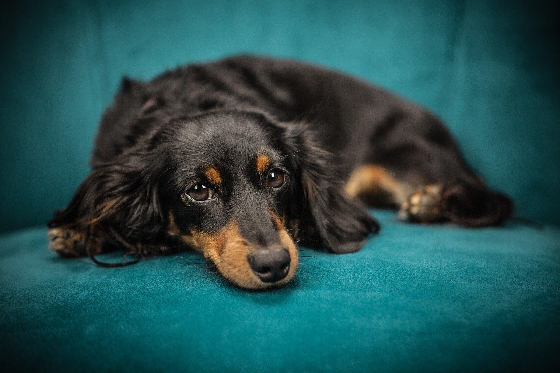 You are currently viewing Миеломаляция у собак. Восходящая и нисходящая миеломаляция у собак