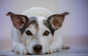 Инцидентность синдрома конского хвоста у собак. Причины возникновения