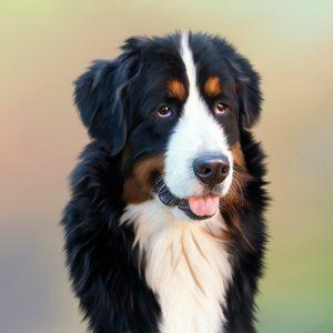 Read more about the article Грыжа диска у собак. Дископатия у собак. Обзорная статья