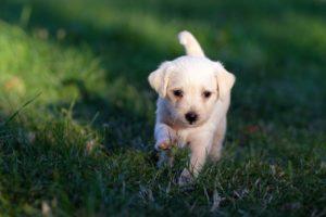 Оперативное лечение грыж диска у собак – гемиламиноэктомия и гемиламинэктомия через мини доступ