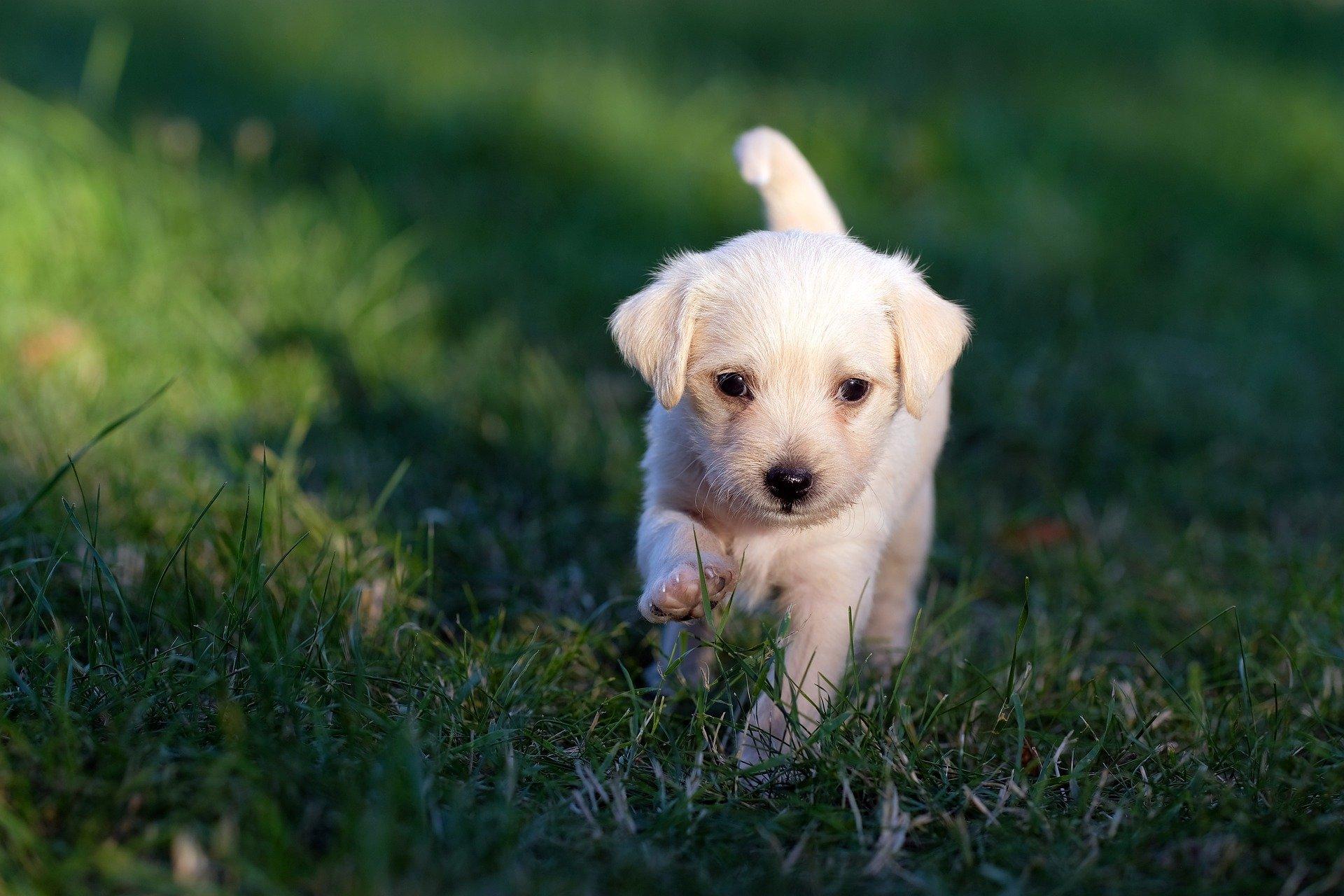 You are currently viewing Оперативное лечение грыж диска у собак – гемиламиноэктомия и гемиламинэктомия через мини доступ