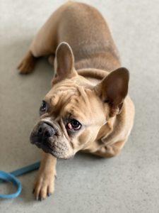 Оперативное лечение разрыва передней крестообразной связки у собак. Методика TPLO (остеотомия, выравнивающая угол наклона плато большеберцовой кости) у собак