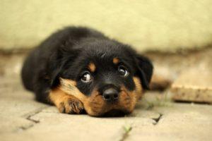 Частота возникновения грыжи межпозвонкового диска у мелких домашних животных