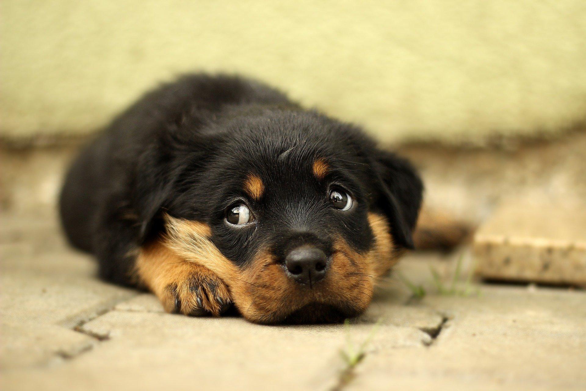 You are currently viewing Частота возникновения грыжи межпозвонкового диска у мелких домашних животных